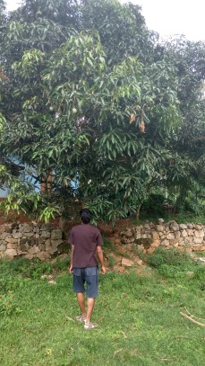 Mango trees all around